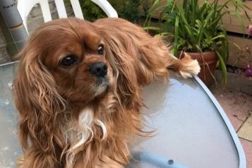 Guy the Cavalier King Charles Spaniel